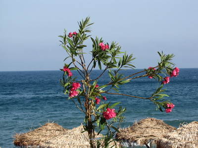 Oleander in Griechenland